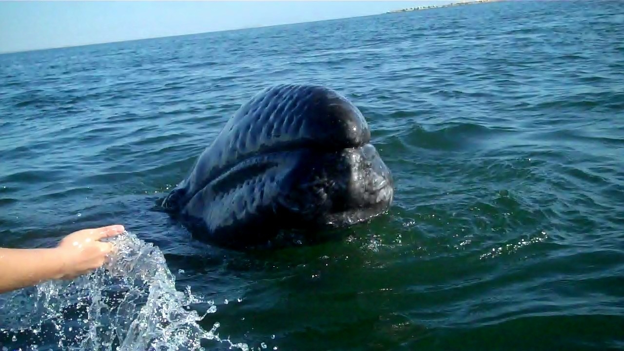 LSI gray whale